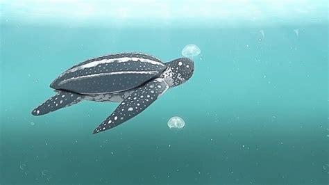 Indonesia Born indonesia born leatherback turtles spotted coast of