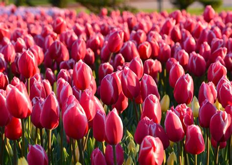 Tulpen Einpflanzen by Tulips How To Plant Grow And Care For Tulip Flowers