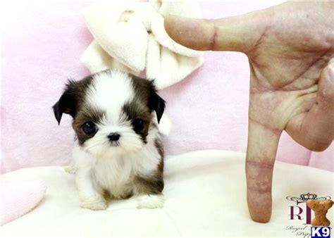 teacup puppies shih tzu teacup shih tzu puppies for sale shih tzu pictures from around the