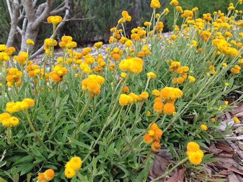 natives  tips   high impact australian garden