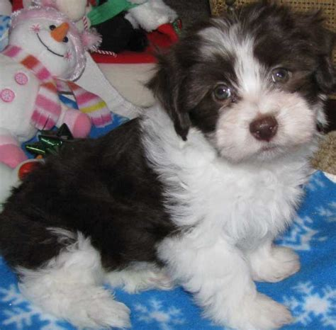 free havanese puppies for sale havanese for sale ads free classifieds