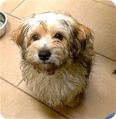 havanese mix rescue 1000 images about havashire havanese on puppies for sale