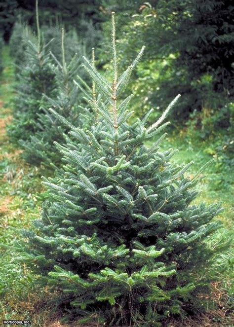 find all types of christmas trees at the home depot best living christmas tree types hgtv