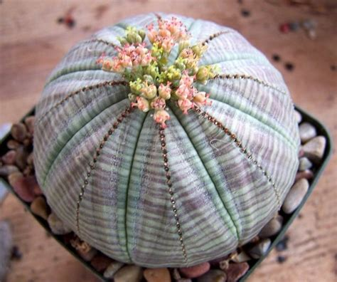 interesting succulents baseball euphorbia euphorbia obesa to 8 quot this