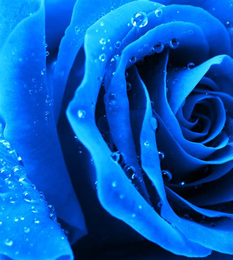 blue my blue roses nature s mystery flower cabbage roses