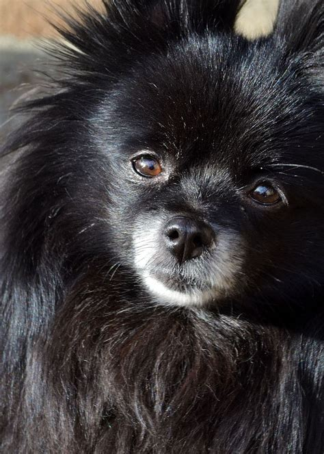 black pomeranian 17 best ideas about black pomeranian on black pomeranian puppies