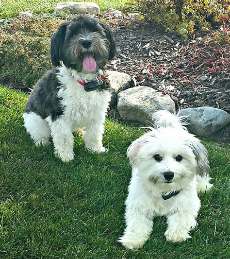 havanese coton de tulear mix 37 best images about dogs on terrier breeders poodles and the