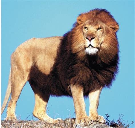 imagenes de unos leones animales apenas quedan unos 250 leones en 193 frica