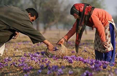 saffron the precious stigma ferrebeekeeper