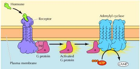 cAMP Pathway G Protein Coupled Receptors Adenylyl Cyclase