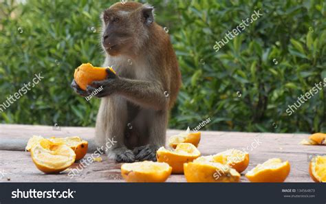 eats lemon monkey lemon stock photo 134564873