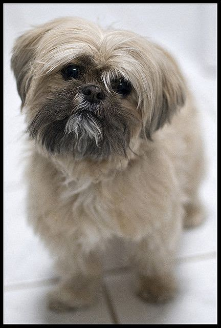 what does a shih tzu haircut look like pinterest the world s catalog of ideas