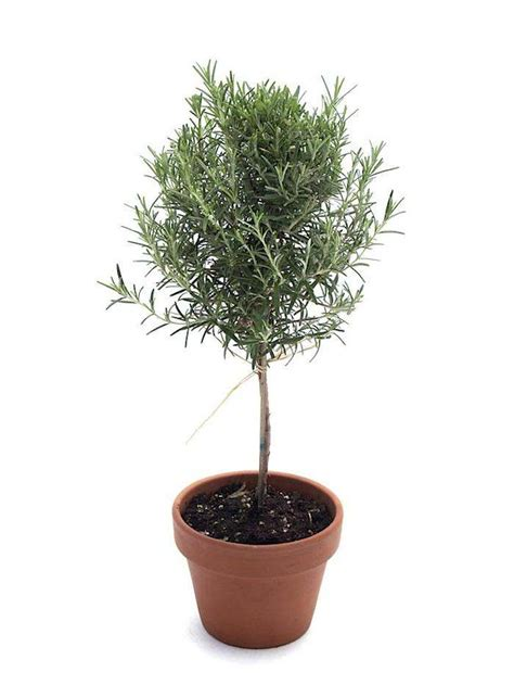 rosemary topiaries rosemary buy it now