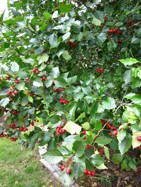 top 28 tree with small berries in summer crataegus monogyna red berries clusters on