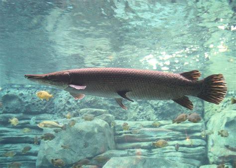 Alligator Gar Spatula alligator gar 10 jpg 3274 215 2341 celestial aquaculture