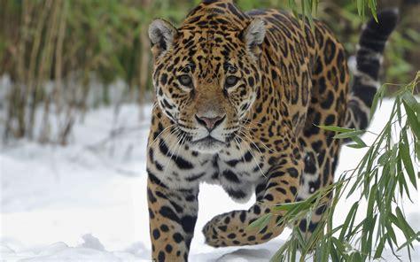 jaguar wallpaper for desktop jaguar wallpaper animal wallpapersafari