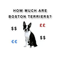 how much are boston terrier puppies boston terrier breed boston terrier at bterrier