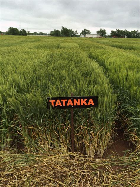 agricultural research center hays four new wheat varieties joe larry tatanka and zenda