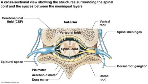 sections of spinal cord where is anterior epidural or subdural space google