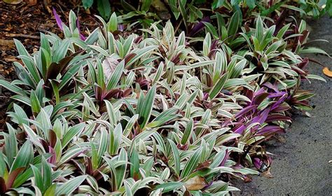 quick growing tropical ground cover rhoeo spathacea