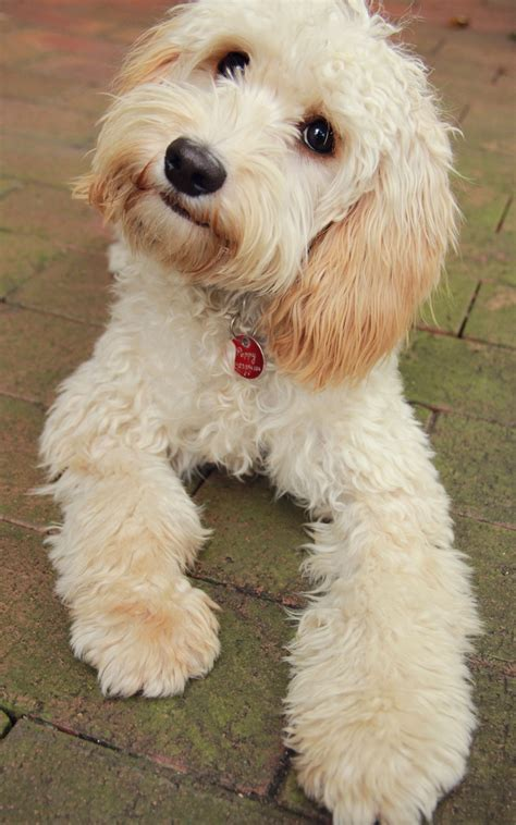 mini doodle cavapoo best 25 poodle mix ideas on poodle mix