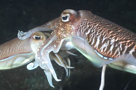 Wonders of the Deep: Cuttlefish in Love