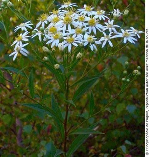 aste banche fleurs blanches sauvages du qu 233 bec