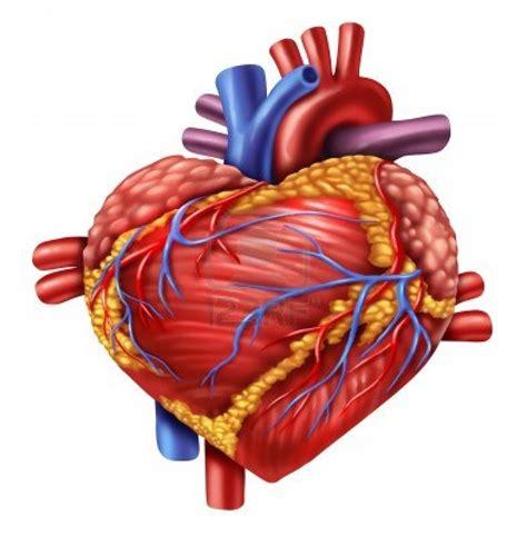 imagenes de corazones organo im 225 gen del corazon humano imagui
