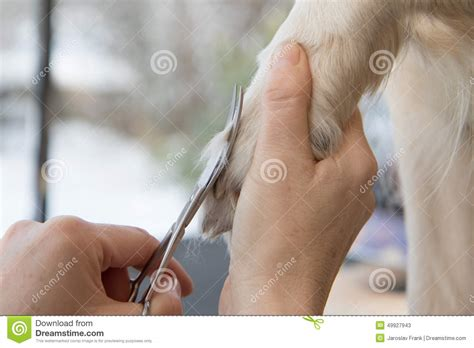 cutting golden retriever nails grooming golden retriever stock photo image 49927943