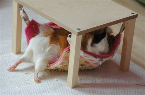 best guinea pig bedding 25 best ideas about guinea pig bedding on pinterest