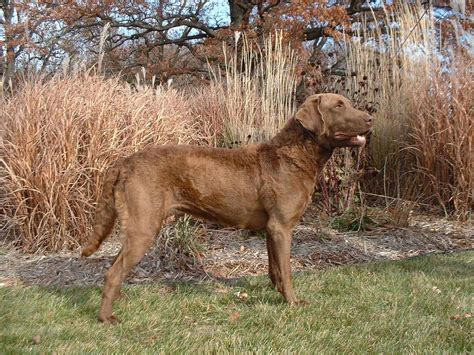 chesapeake bay retriever colors chesapeake bay retriever breed information puppies