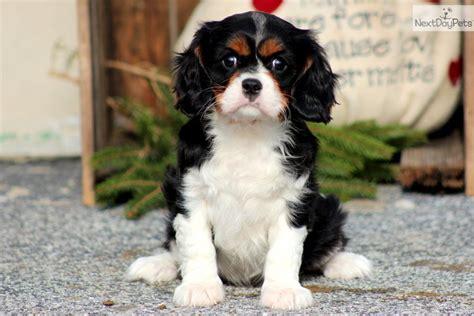 king charles cavalier puppies price cavalier king charles spaniel puppy for sale near lancaster pennsylvania f9b59fb8 4c61
