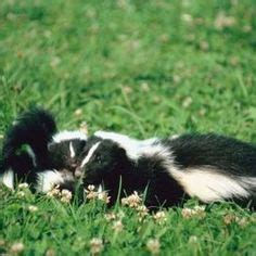how do you get rid of skunks in your backyard learn how to get rid of skunks fast best repellent for