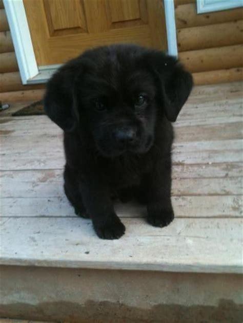 mini lab puppies best 25 mini labrador retriever ideas only on labrador puppies