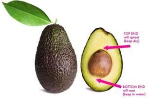 avocado tree from seed fruit how to grow an avocado tree from seed inhabitat green