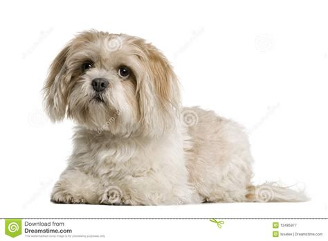 how to a shih tzu to lay shih tzu lying and looking up stock image image of