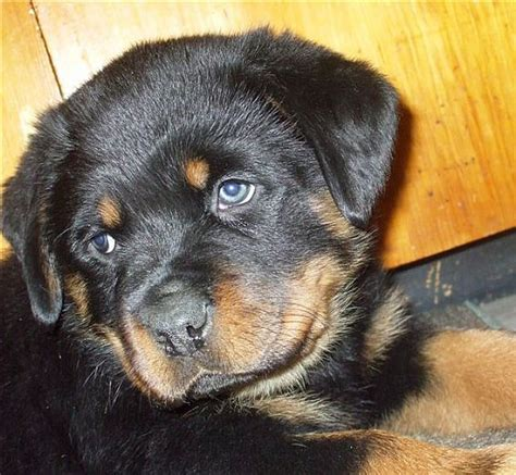 want ad digest puppies 17 best images about pets on bloodhound puppies german shepherd puppies