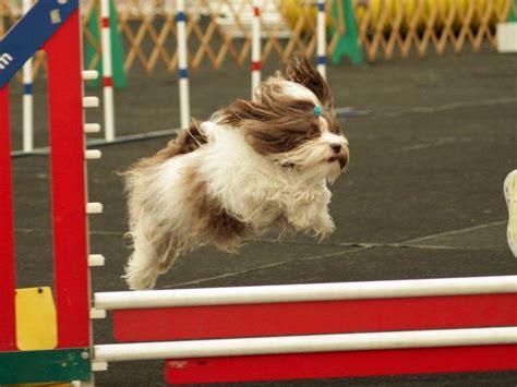 havanese missouri havanese puppies
