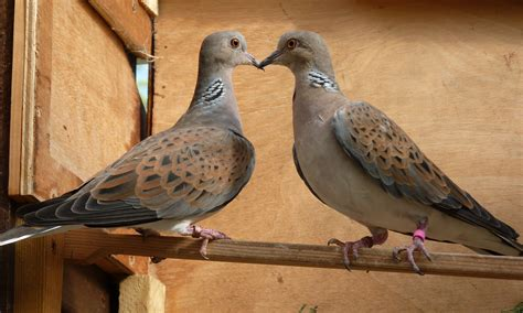 turtle dove streptopelia turtur for sale pigeons and