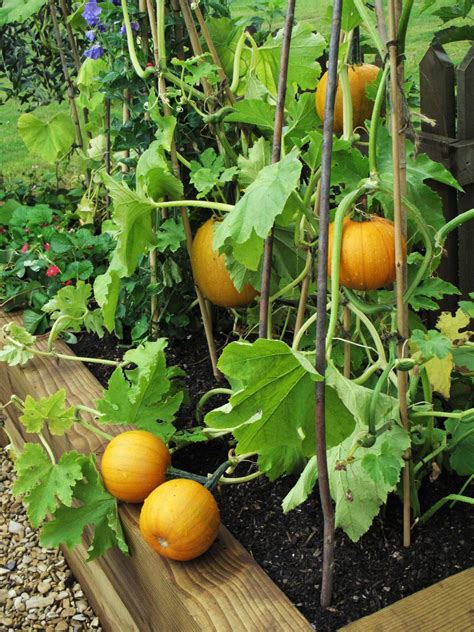 growing vegetables in backyard growing pumpkins in containers hgtv