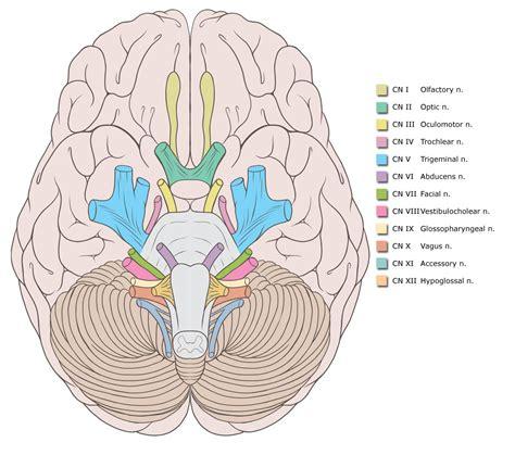 cranial nerves diagram cranial nerve origins illustration image radiopaedia org