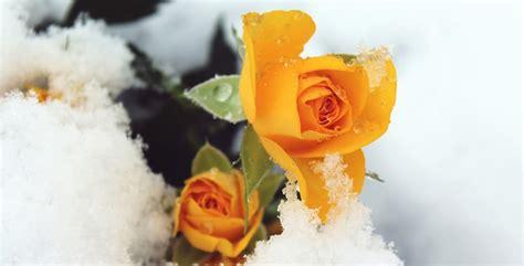 i fiori pi profumati piante dai fiori a imbuto piante dai fiori a imbuto with