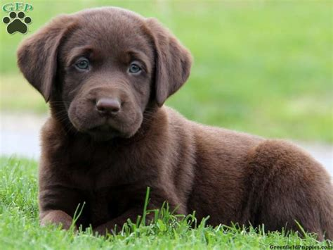 lab puppies for sale in pa hobbs chocolate lab puppy for sale from gap pa