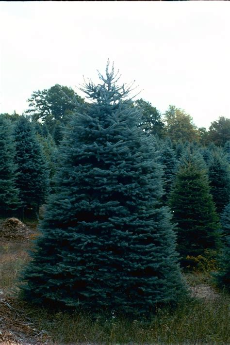 majestic spruce christmas tree trees