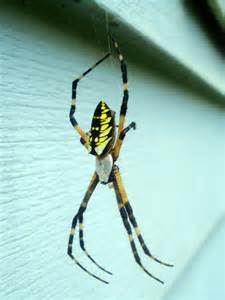 Garden Spider With Yellow Stripes Australia A Scairt Of Piders Embracing Myself