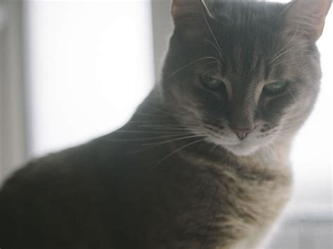 what happens if you cut a s whiskers why do cats whiskers what happens if they re cut