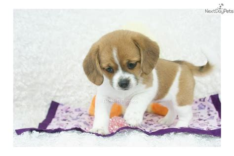 peagle puppies for sale tabby peagle shipping included puggle puppy for sale near springfield missouri
