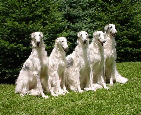 what was the breed photos collection borzoi breed photos