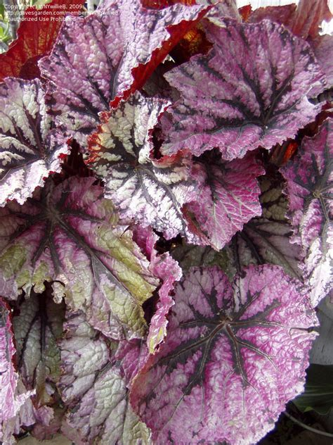 plantfiles pictures king begonia painted begonia