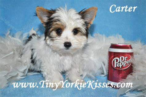 yorkie puppies for sale sacramento ca akc parti yorkie puppies for sale local in california in hoobly classifieds